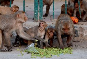 Crowd of Monkies comes to Siddapoor village