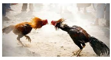 Cock fight in AP