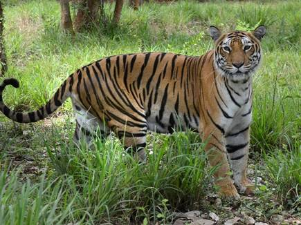 Adilabad create disturbances in fear of tigress